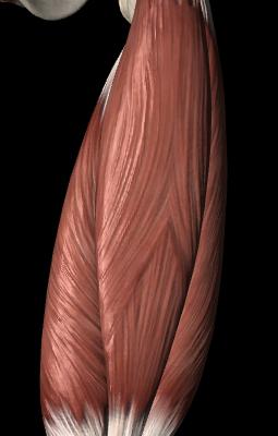 Sarcastic Anatomy – Quadriceps – iDryNeedle Blog